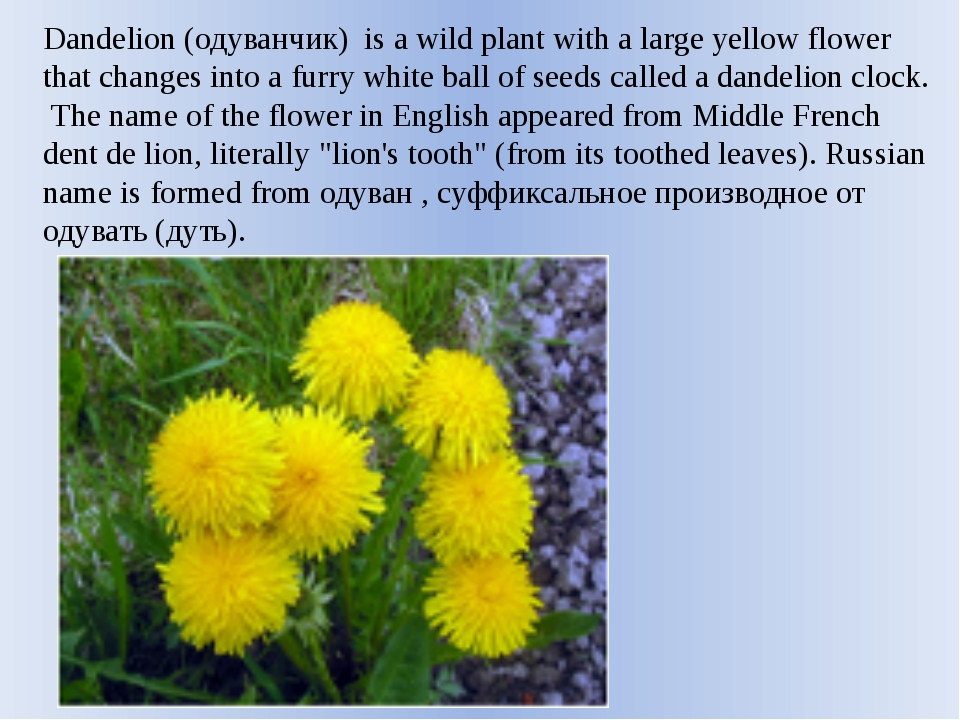 Dandelion (одуванчик) is a wild plant with a large yellow flower that changes...