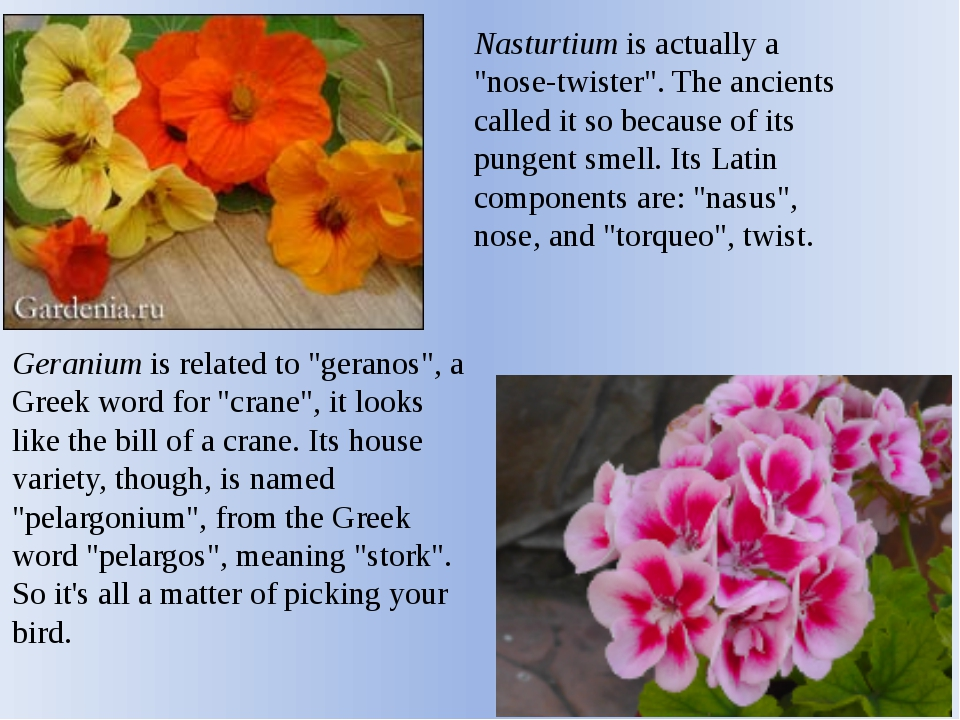 "Nasturtium is actually a ""nose-twister"". The ancients called it so because of..."
