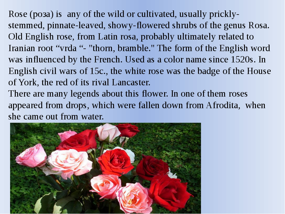 Rose (роза) is any of the wild or cultivated, usually prickly-stemmed, pinnat...