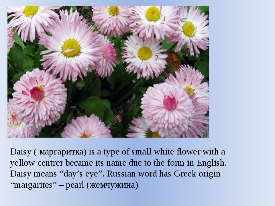 Daisy ( маргаритка) is a type of small white flower with a yellow centrer bec...
