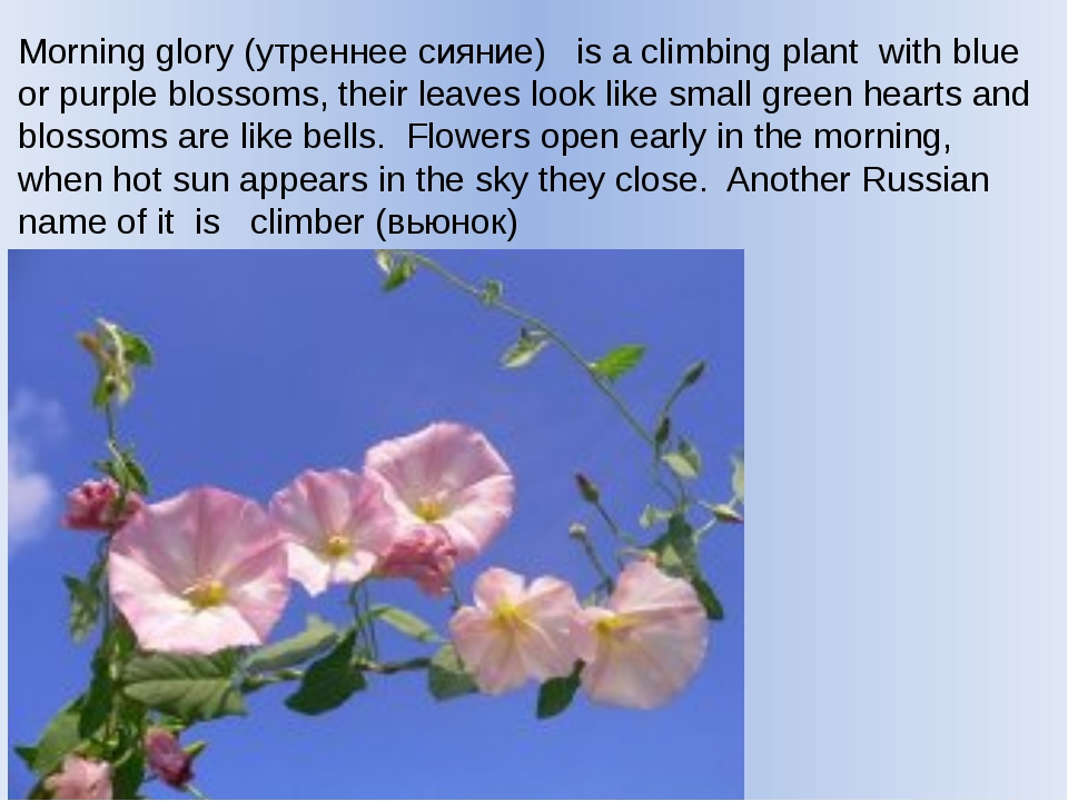 Morning glory (утреннее сияние) is a climbing plant with blue or purple bloss...