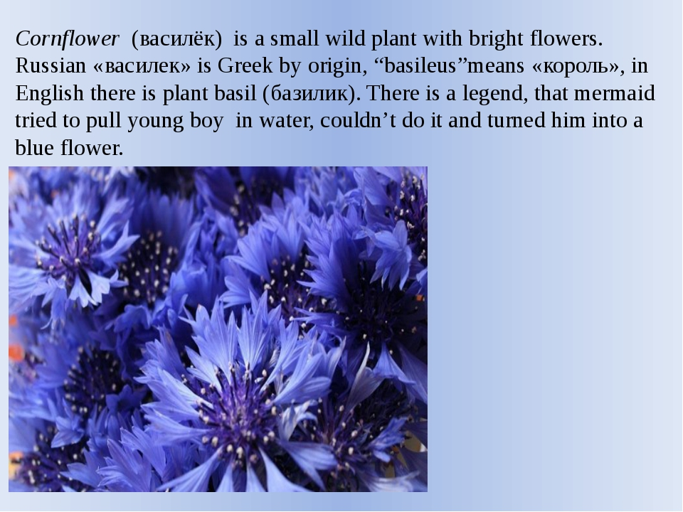 Cornflower  (василёк) is a small wild plant with bright flowers. Russian «вас...