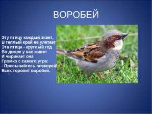 ВОРОБЕЙ Эту птицу каждый знает, В теплый край не улетает Эта птица - круглый