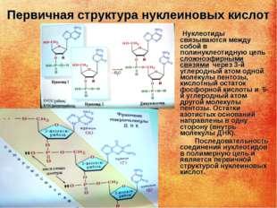 Первичная структура нуклеиновых кислот Нуклеотиды связываются между собой в п