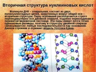 Вторичная структура нуклеиновых кислот Молекула ДНК – спиральная, состоит из