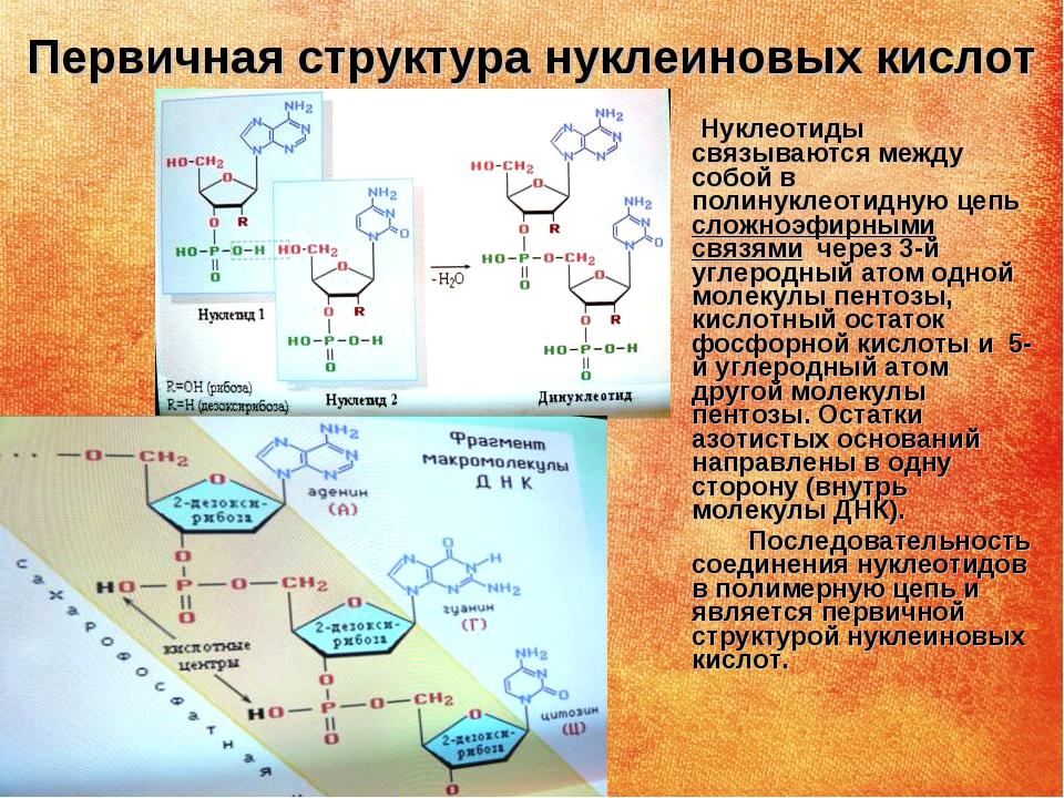 Первичная структура нуклеиновых кислот Нуклеотиды связываются между собой в п...