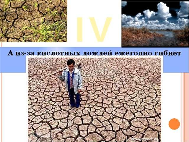 IV А из-за кислотных дождей ежегодно гибнет 31 млн. гектаров леса.