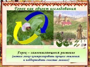 Горох как объект исследования Горох – самоопыляющееся растение (можно легко к