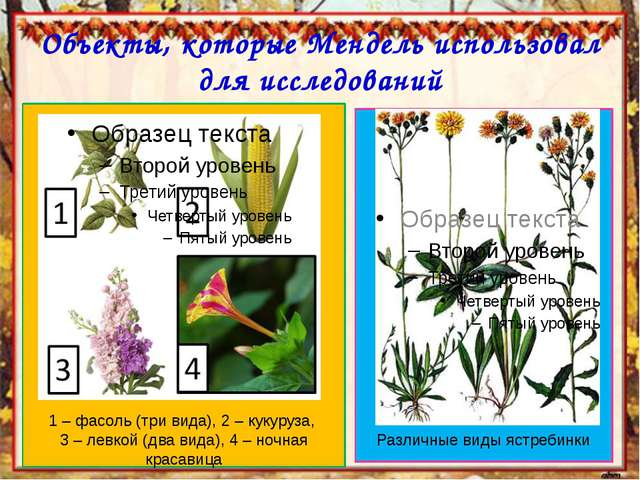 Объекты, которые Мендель использовал для исследований 1 – фасоль (три вида),...