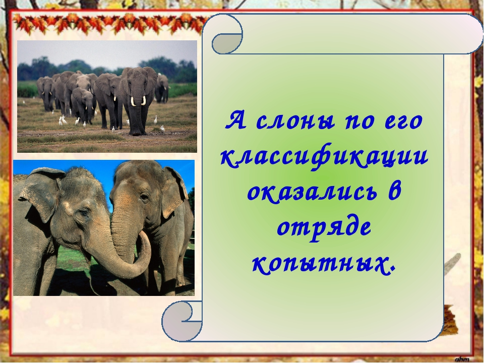 А слоны по его классификации оказались в отряде копытных.