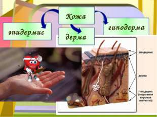 эпидермис гиподерма дерма Кожа
