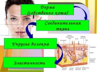 Эластичность Дерма (собственно кожа) Соединительная ткань Упругие волокна