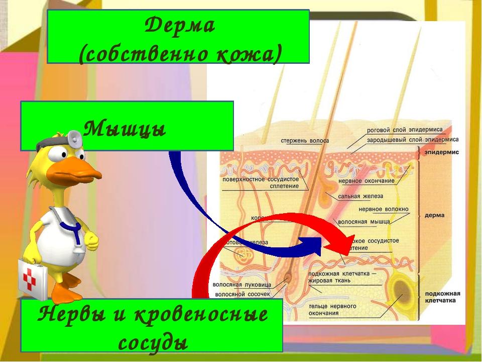 Мышцы Нервы и кровеносные сосуды Дерма (собственно кожа)