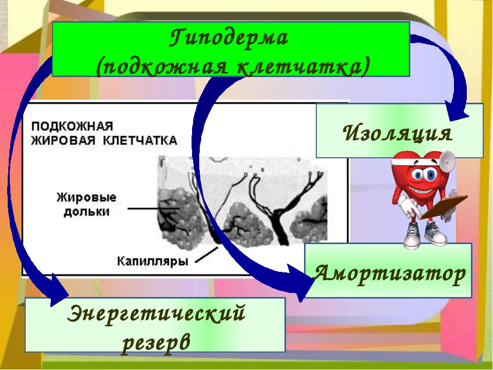 Изоляция Амортизатор Энергетический резерв Гиподерма (подкожная клетчатка)
