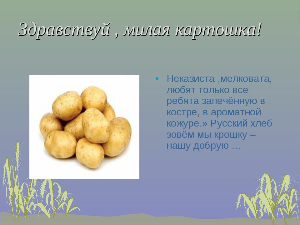 Здравствуй , милая картошка! Неказиста ,мелковата, любят только все ребята за...