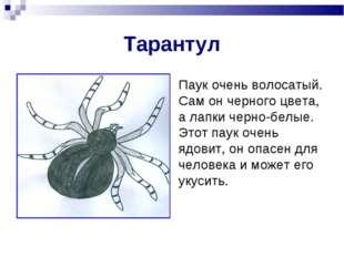 Тарантул Паук очень волосатый. Сам он черного цвета, а лапки черно-белые. Это
