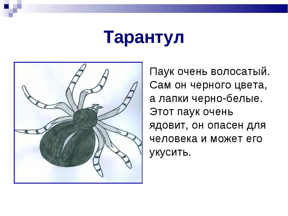 Тарантул Паук очень волосатый. Сам он черного цвета, а лапки черно-белые. Это...