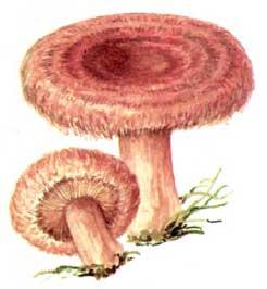 отравление условно съедобными грибами – волнушками