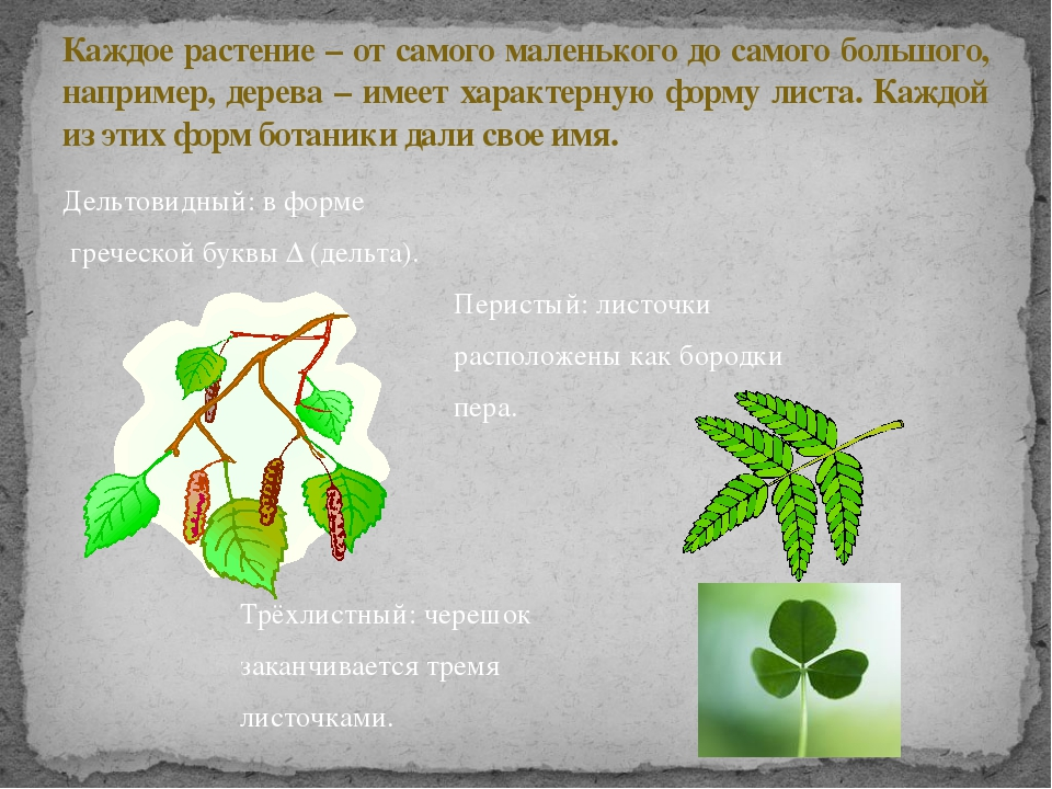 Дельтовидный: в форме греческой буквы Δ (дельта). Перистый: листочки располож...