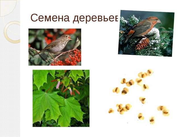 Семена деревьев