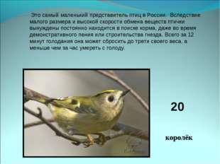 Это самый маленький представитель птиц в России. Вследствие малого размера