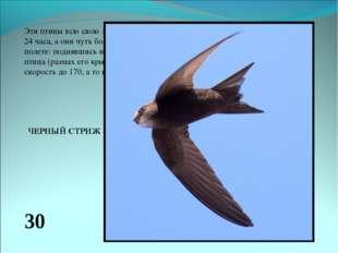 Эти птицы всю свою жизнь проживают в воздухе, там они проводят все 24 часа, а
