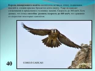 Король пикирующего полёта охотится на летящую птицу, поднимаясь над ней и, сл