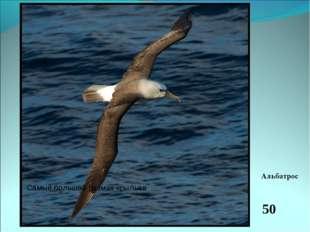 Это очень большая и сильная птица. Безбрежная океанская гладь является для не