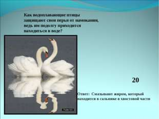 Как водоплавающие птицы защищают свои перья от намокания, ведь им подолгу при