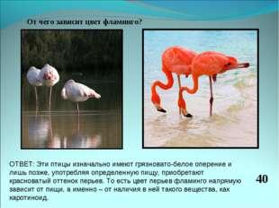 От чего зависит цвет фламинго? 40 ОТВЕТ: Эти птицы изначально имеют грязноват
