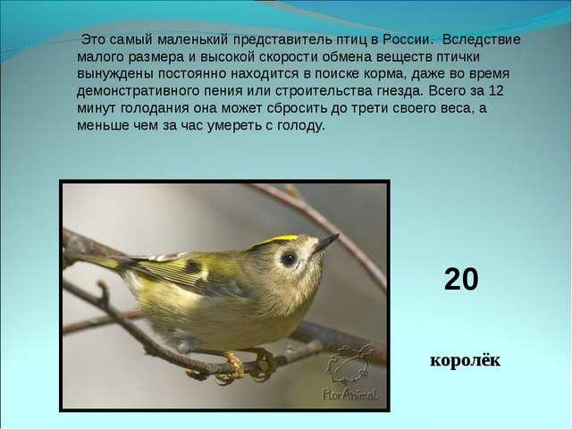 Это самый маленький представитель птиц в России. Вследствие малого размера...