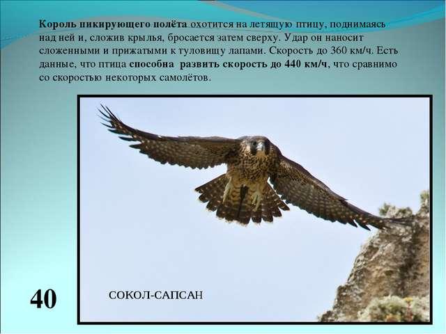Король пикирующего полёта охотится на летящую птицу, поднимаясь над ней и, сл...