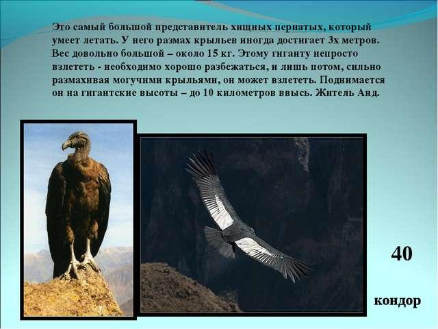 Это самый большой представитель хищных пернатых, который умеет летать. У него...