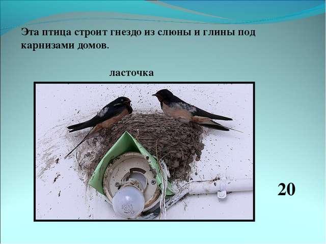 Эта птица строит гнездо из слюны и глины под карнизами домов. ласточка 20