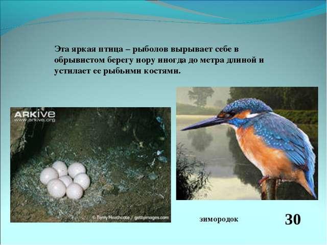 Эта яркая птица – рыболов вырывает себе в обрывистом берегу нору иногда до ме...