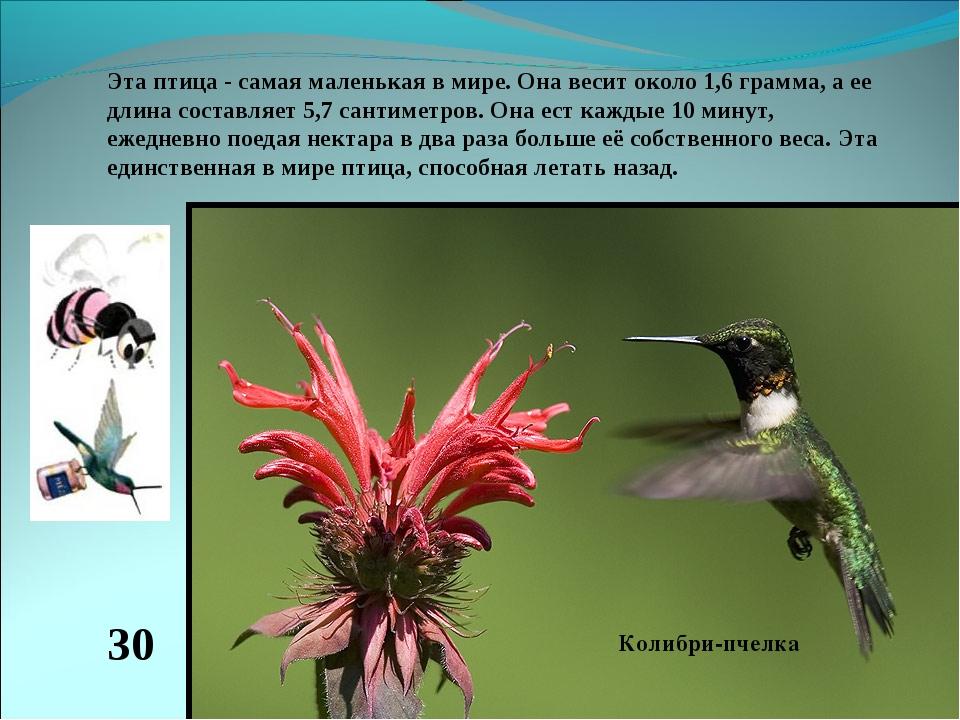 Эта птица - самая маленькая в мире. Она весит около 1,6 грамма, а ее длина со...