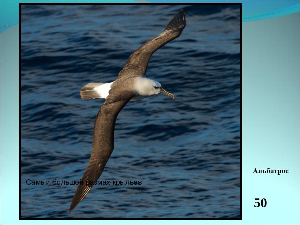 Это очень большая и сильная птица. Безбрежная океанская гладь является для не...