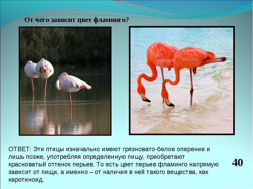 От чего зависит цвет фламинго? 40 ОТВЕТ: Эти птицы изначально имеют грязноват...