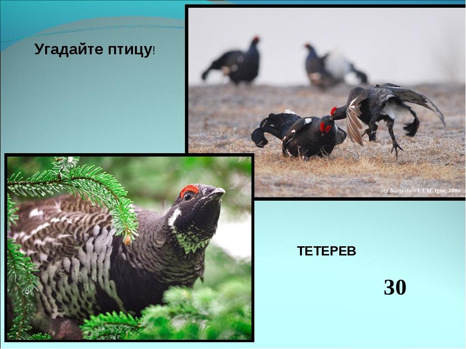 Угадайте птицу! ТЕТЕРЕВ 30