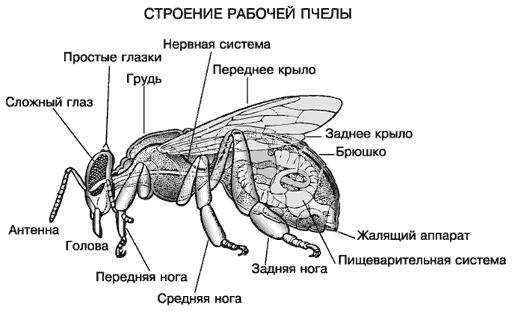 Пчелки,куда же вы. - Даром Бе.ру