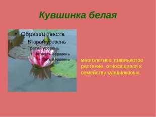 Кувшинка белая многолетнее травянистое растение, относящееся к семейству кувш