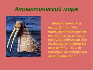 Атлантический морж длиною более 4 м, вес до 2 тонн. Это единственное животное