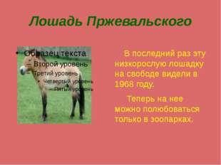 Лошадь Пржевальского В последний раз эту низкорослую лошадку на свободе видел