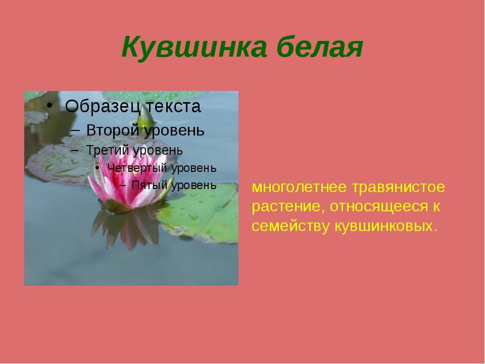 Кувшинка белая многолетнее травянистое растение, относящееся к семейству кувш...