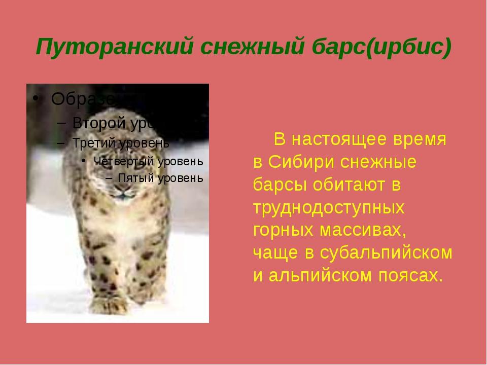 Путоранский снежный барс(ирбис) В настоящее время в Сибири снежные барсы обит...