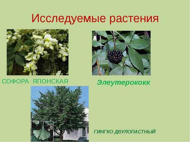 Исследуемые растения СОФОРА ЯПОНСКАЯ Элеутерококк ГИНГКО ДВУЛОПАСТНЫЙ