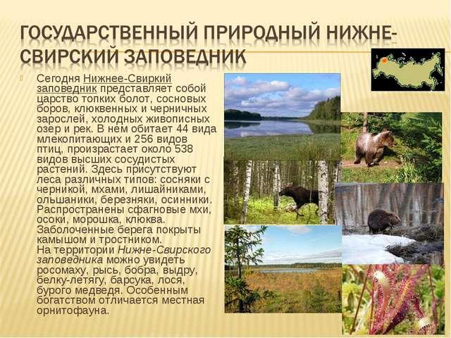 СегодняНижнее-Свиркий заповедникпредставляет собой царство топких болот, со...