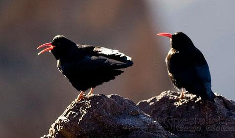 http://www.naturelifepark.com/birds/foto/big/Pyrrhocorax_pyrrhocorax.jpg