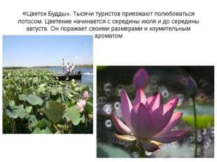 «Цветок Будды». Тысячи туристов приезжают полюбоваться лотосом. Цветение начи