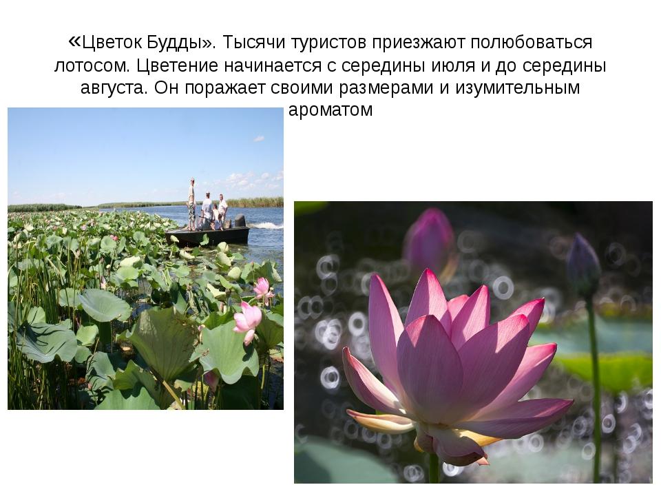 «Цветок Будды». Тысячи туристов приезжают полюбоваться лотосом. Цветение начи...